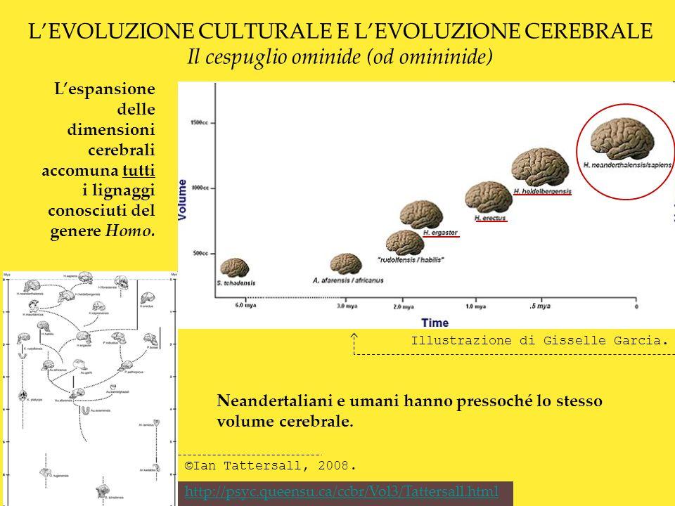 L'EVOLUZIONE CULTURALE E L'EVOLUZIONE CEREBRALE Il cespuglio ominide (od omininide)