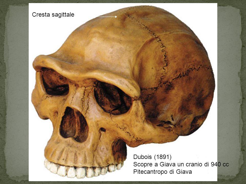 Cresta sagittale Dubois (1891) Scopre a Giava un cranio di 940 cc Pitecantropo di Giava
