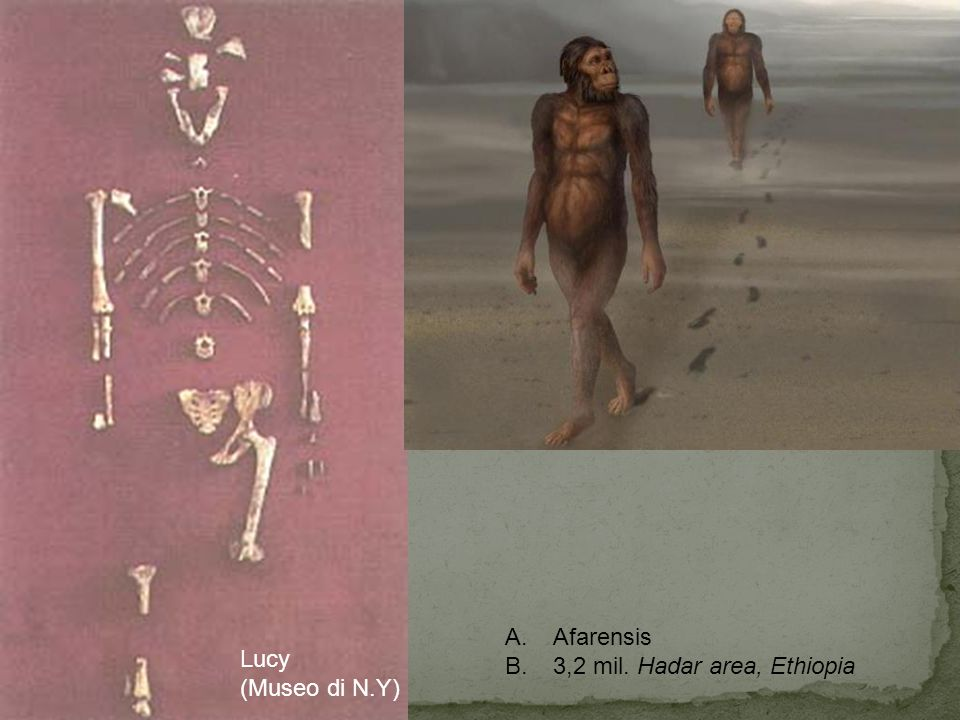 Afarensis 3,2 mil. Hadar area, Ethiopia Lucy (Museo di N.Y)