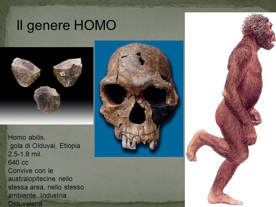 Il genere HOMO Homo abilis, gola di Olduvai, Etiopia 2.5-1.8 mil.