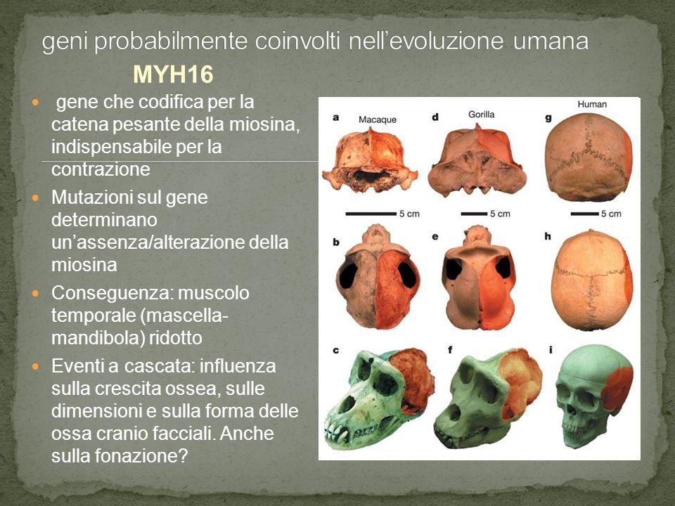 geni probabilmente coinvolti nell'evoluzione umana