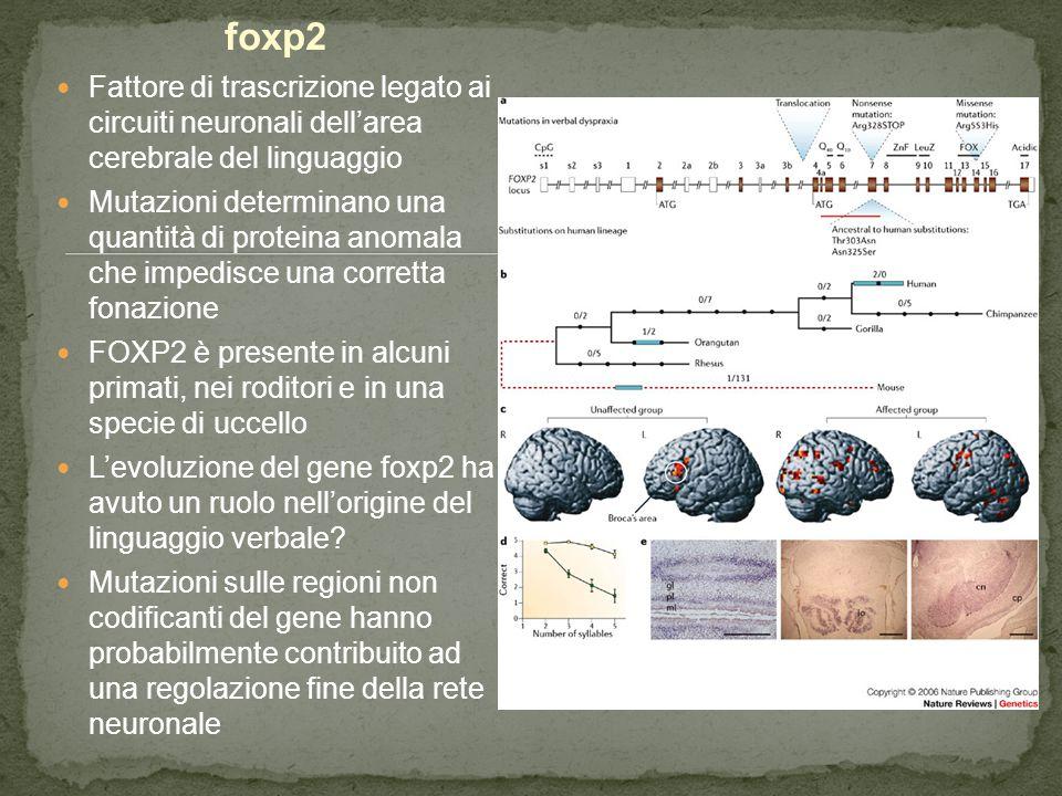 foxp2 Fattore di trascrizione legato ai circuiti neuronali dell'area cerebrale del linguaggio.