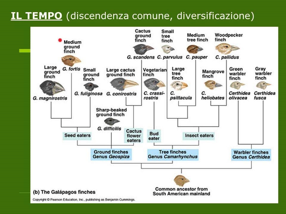 IL TEMPO (discendenza comune, diversificazione)