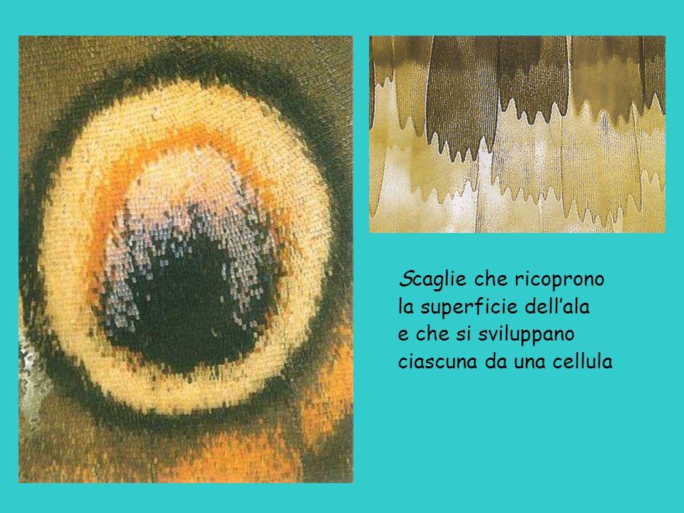 Scaglie che ricoprono la superficie dell'ala e che si sviluppano ciascuna da una cellula