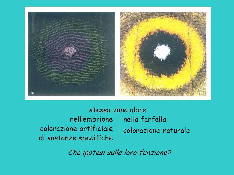 stessa zona alare nella farfalla. colorazione naturale. Che ipotesi sulla loro funzione nell'embrione.