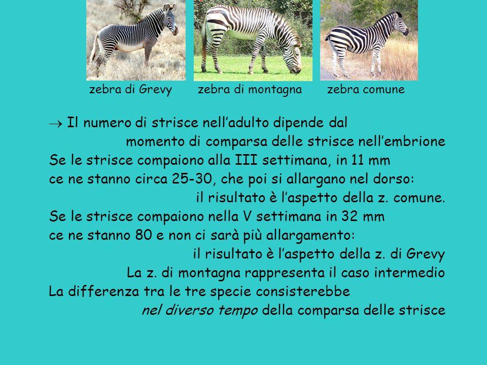 zebra di Grevy zebra di montagna zebra comune