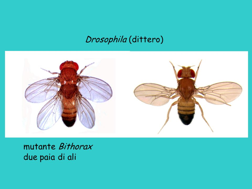 Drosophila (dittero) mutante Bithorax due paia di ali
