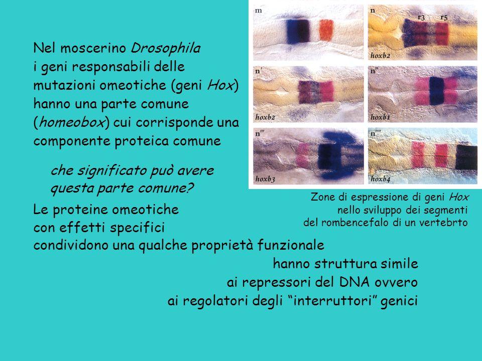 Nel moscerino Drosophila i geni responsabili delle