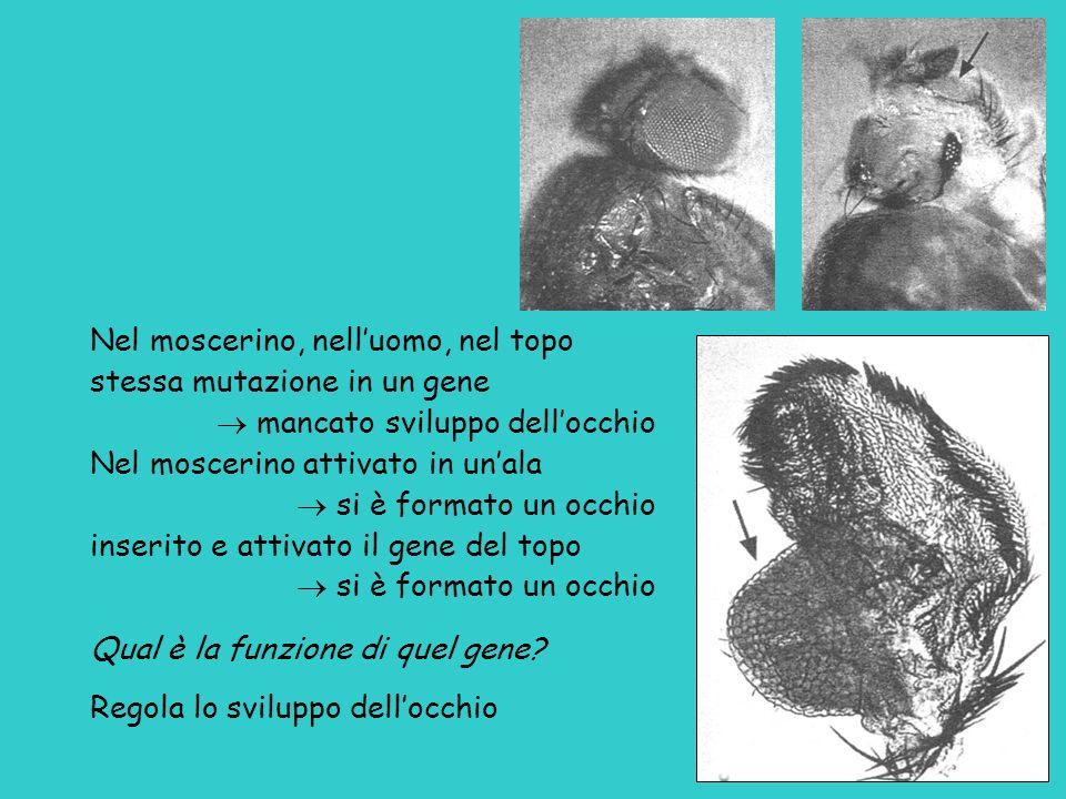 Nel moscerino, nell'uomo, nel topo stessa mutazione in un gene