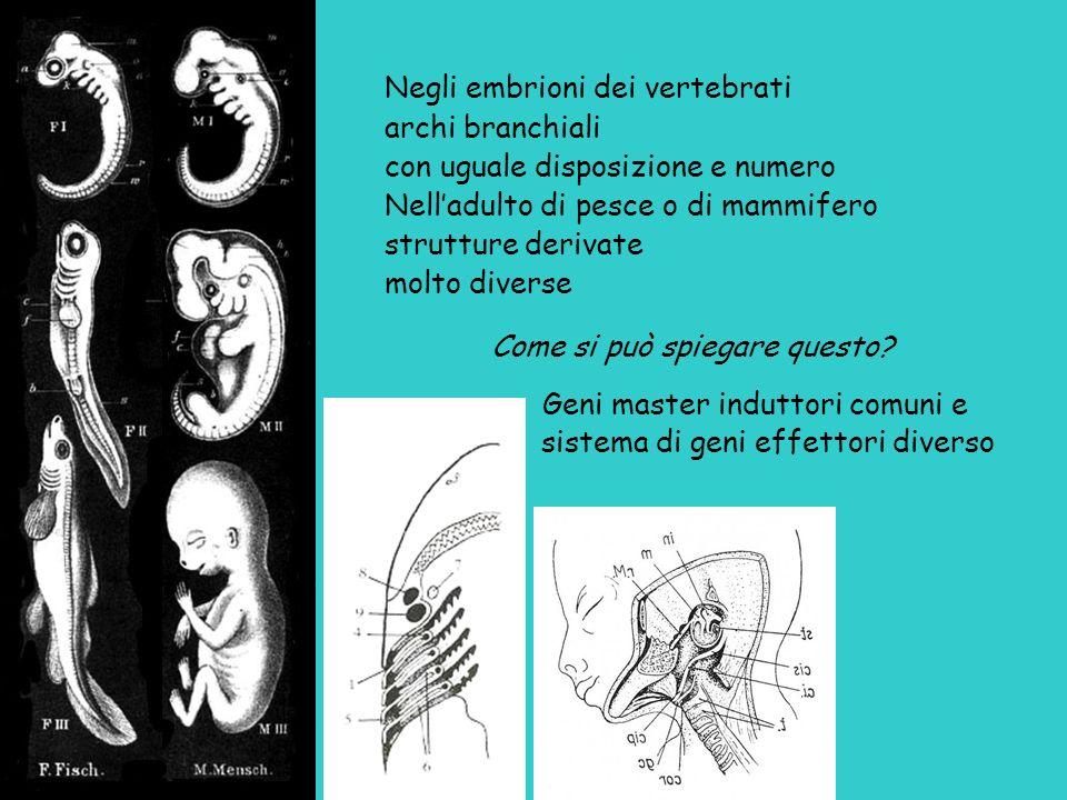 Negli embrioni dei vertebrati archi branchiali