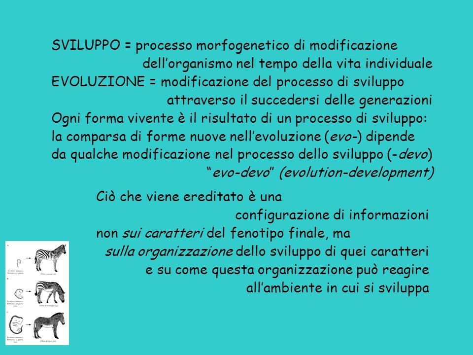 SVILUPPO = processo morfogenetico di modificazione
