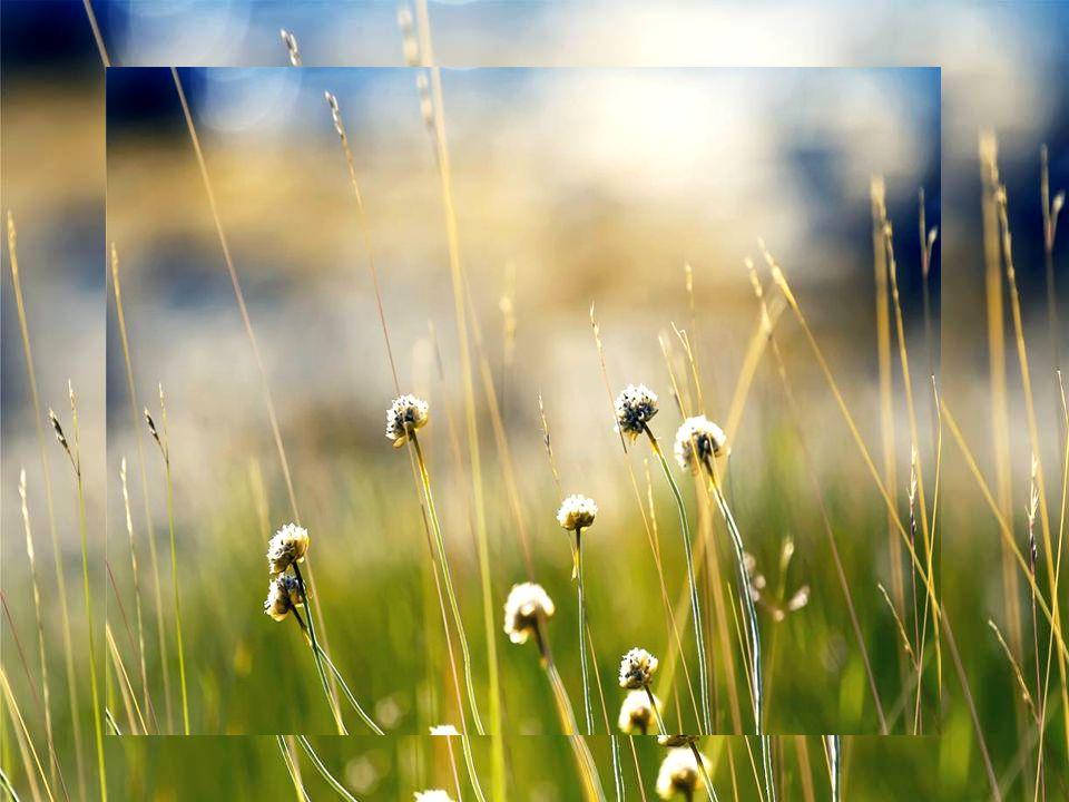 Sono il sole sui campi di grano.