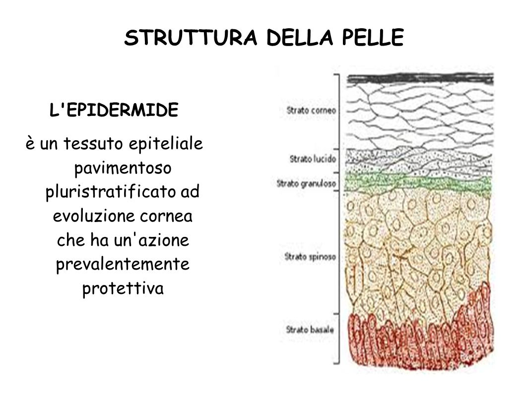 STRUTTURA DELLA PELLE L EPIDERMIDE