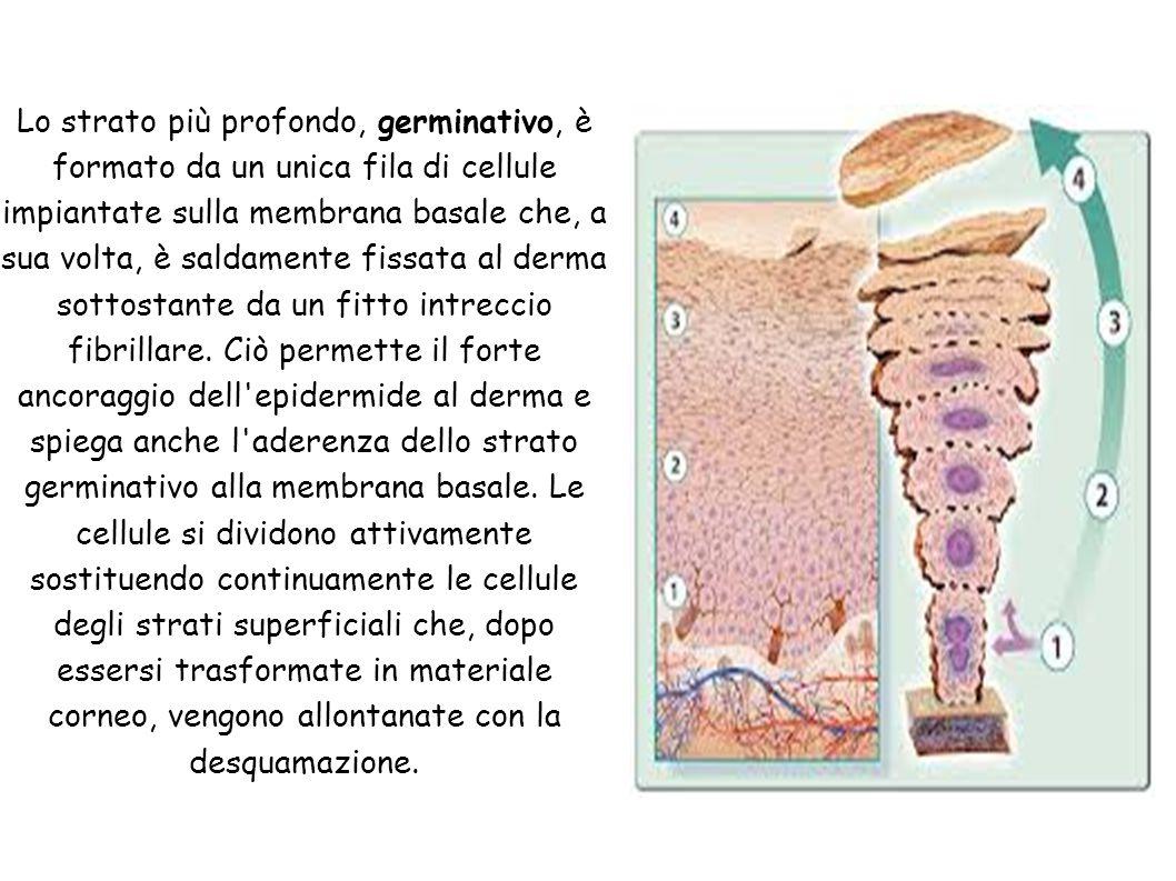 Lo strato più profondo, germinativo, è formato da un unica fila di cellule impiantate sulla membrana basale che, a sua volta, è saldamente fissata al derma sottostante da un fitto intreccio fibrillare.
