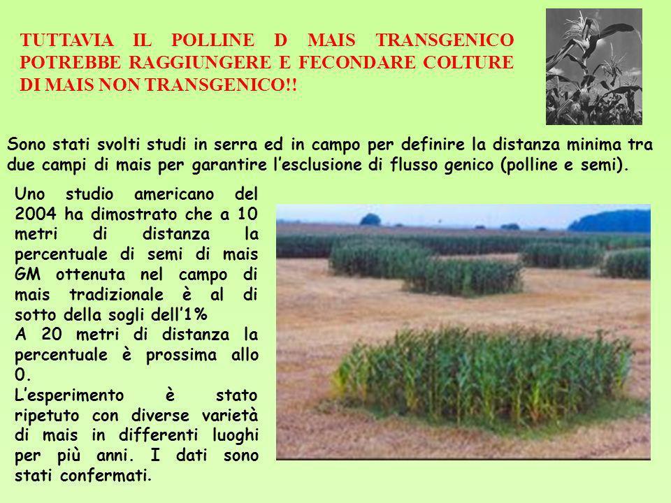 TUTTAVIA IL POLLINE D MAIS TRANSGENICO POTREBBE RAGGIUNGERE E FECONDARE COLTURE DI MAIS NON TRANSGENICO!!