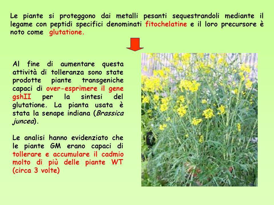 Le piante si proteggono dai metalli pesanti sequestrandoli mediante il legame con peptidi specifici denominati fitochelatine e il loro precursore è noto come glutatione.