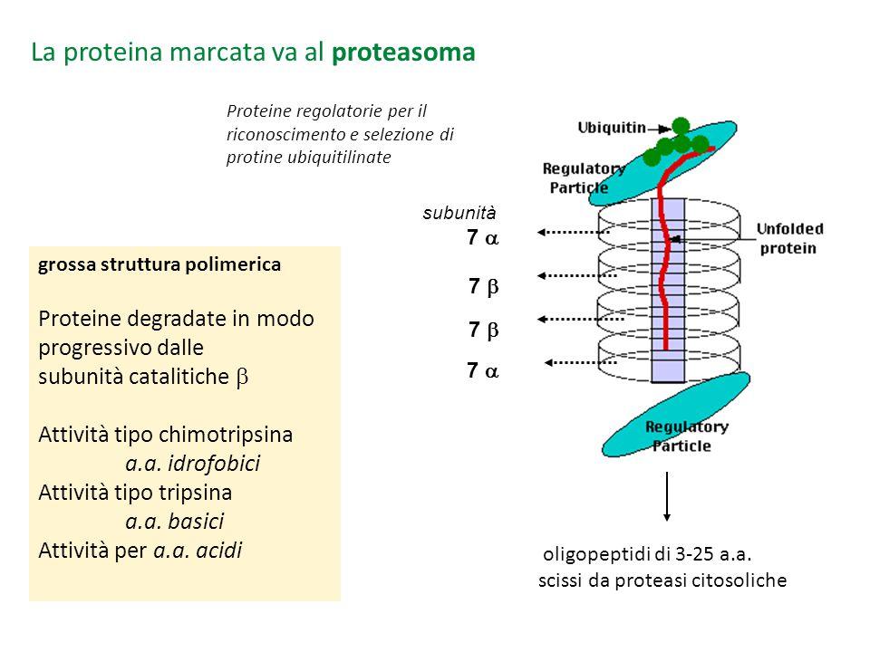 La proteina marcata va al proteasoma