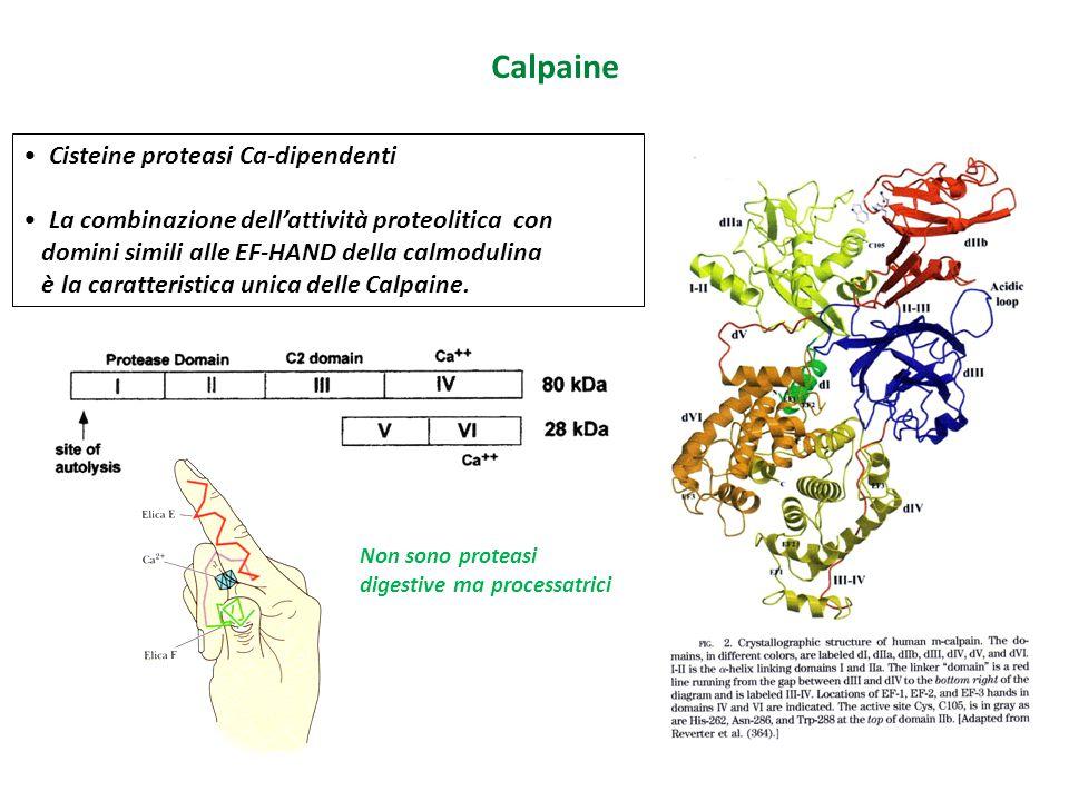 Calpaine Cisteine proteasi Ca-dipendenti