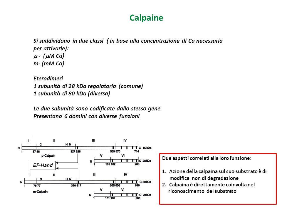 Calpaine Si suddividono in due classi ( in base alla concentrazione di Ca necessaria per attivarle):