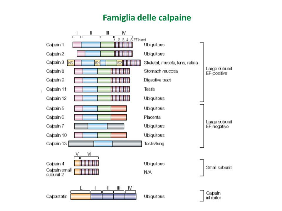Famiglia delle calpaine