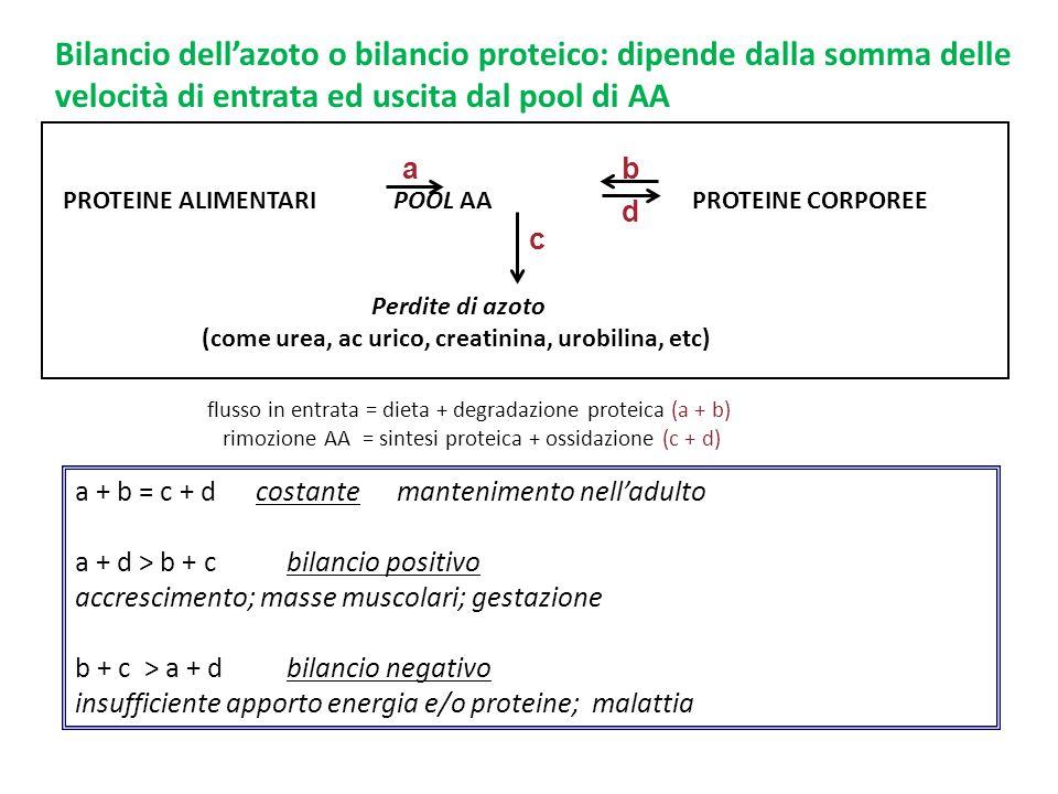 Bilancio dell'azoto o bilancio proteico: dipende dalla somma delle velocità di entrata ed uscita dal pool di AA