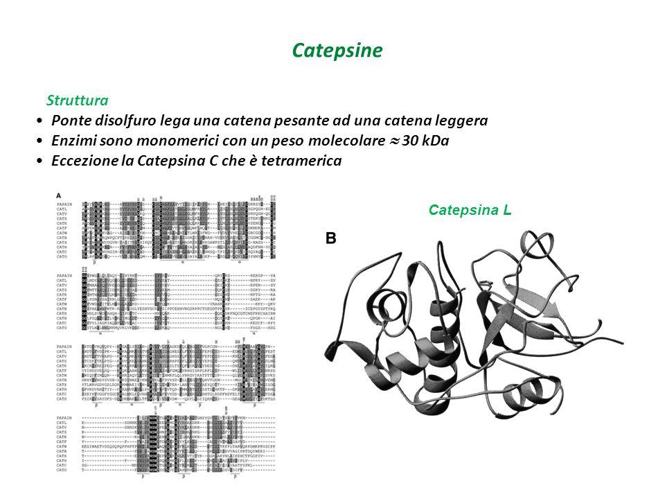 Catepsine Struttura. Ponte disolfuro lega una catena pesante ad una catena leggera. Enzimi sono monomerici con un peso molecolare  30 kDa.