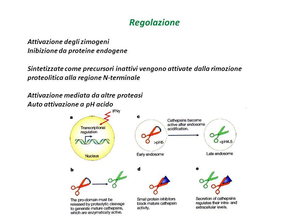 Regolazione Attivazione degli zimogeni Inibizione da proteine endogene