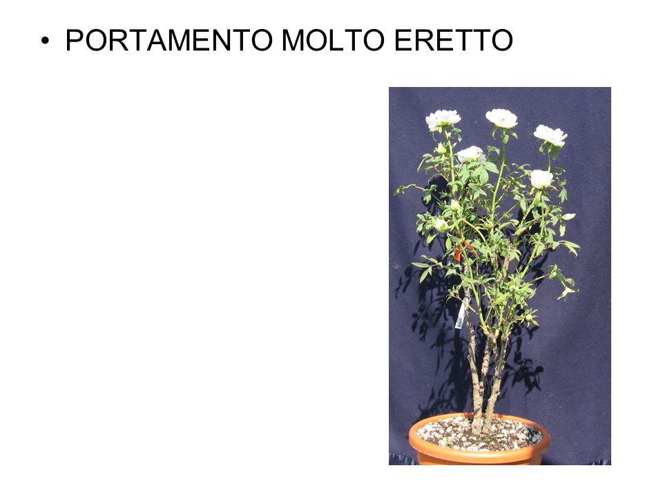 PORTAMENTO MOLTO ERETTO