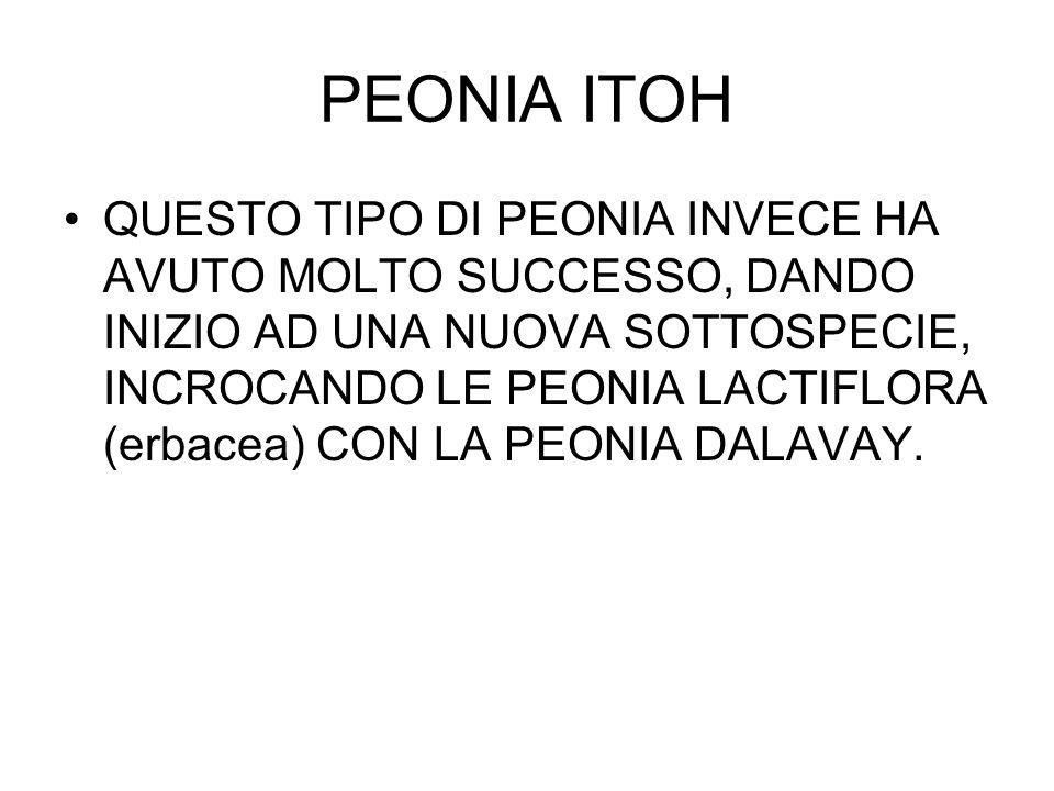 PEONIA ITOH