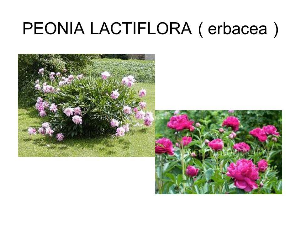 PEONIA LACTIFLORA ( erbacea )