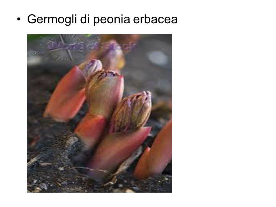 Germogli di peonia erbacea