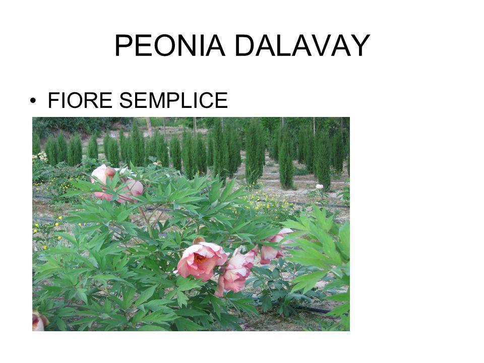 PEONIA DALAVAY FIORE SEMPLICE