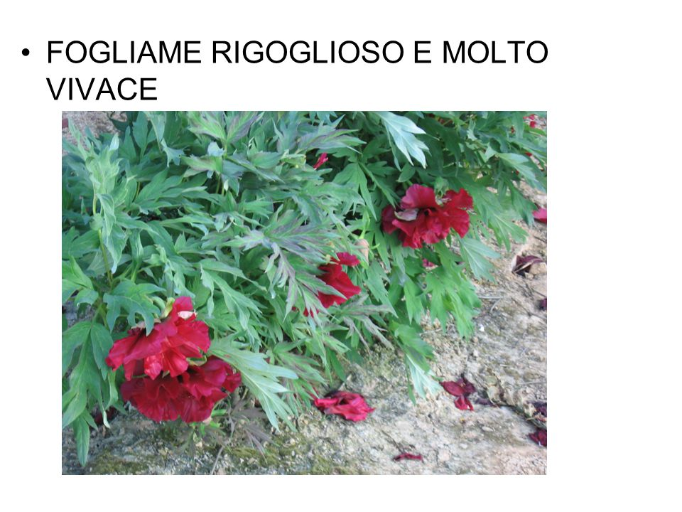 FOGLIAME RIGOGLIOSO E MOLTO VIVACE