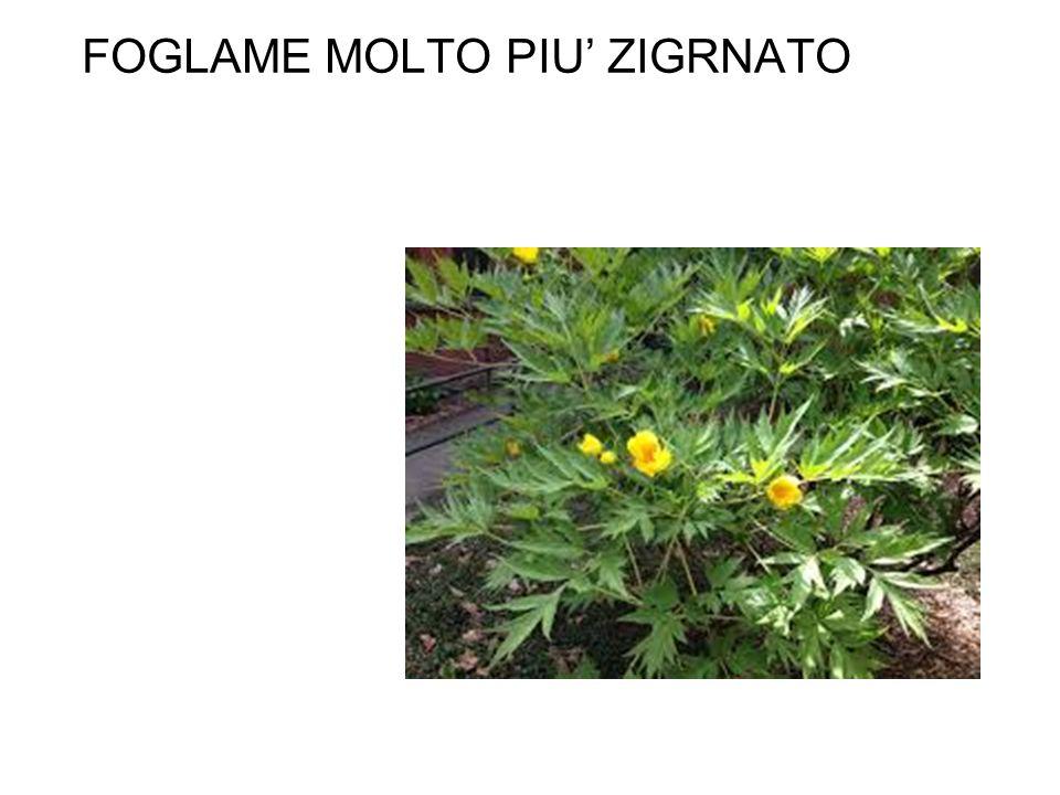 FOGLAME MOLTO PIU' ZIGRNATO