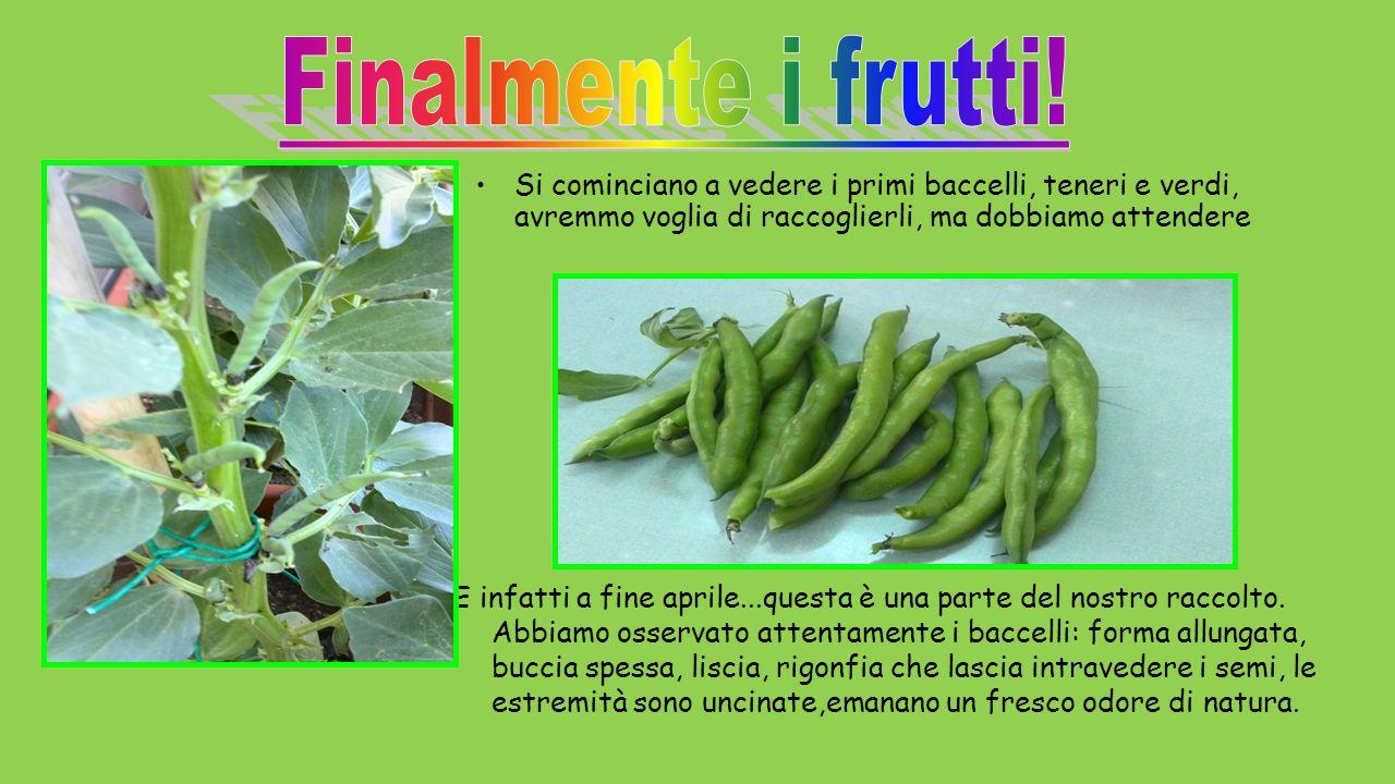 Finalmente i frutti! Si cominciano a vedere i primi baccelli, teneri e verdi, avremmo voglia di raccoglierli, ma dobbiamo attendere.