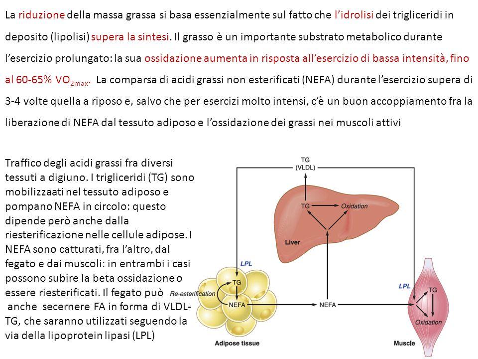 La riduzione della massa grassa si basa essenzialmente sul fatto che l'idrolisi dei trigliceridi in deposito (lipolisi) supera la sintesi. Il grasso è un importante substrato metabolico durante l'esercizio prolungato: la sua ossidazione aumenta in risposta all'esercizio di bassa intensità, fino al 60-65% VO2max. La comparsa di acidi grassi non esterificati (NEFA) durante l'esercizio supera di 3-4 volte quella a riposo e, salvo che per esercizi molto intensi, c'è un buon accoppiamento fra la liberazione di NEFA dal tessuto adiposo e l'ossidazione dei grassi nei muscoli attivi