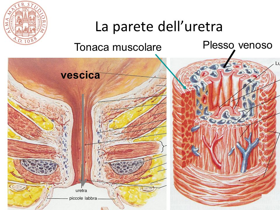La parete dell'uretra Plesso venoso Tonaca muscolare vescica