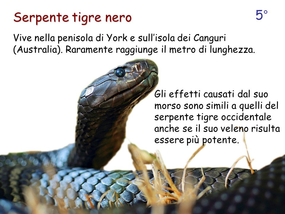 5° Serpente tigre nero. Vive nella penisola di York e sull'isola dei Canguri (Australia). Raramente raggiunge il metro di lunghezza.