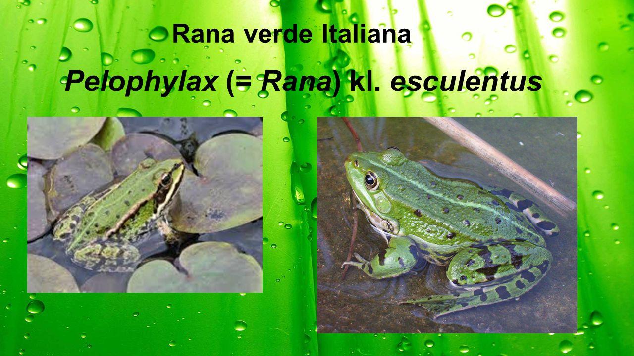 Pelophylax (= Rana) kl. esculentus