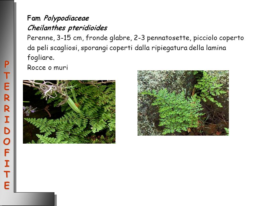 PTERRIDOFITE Fam Polypodiaceae Cheilanthes pteridioides