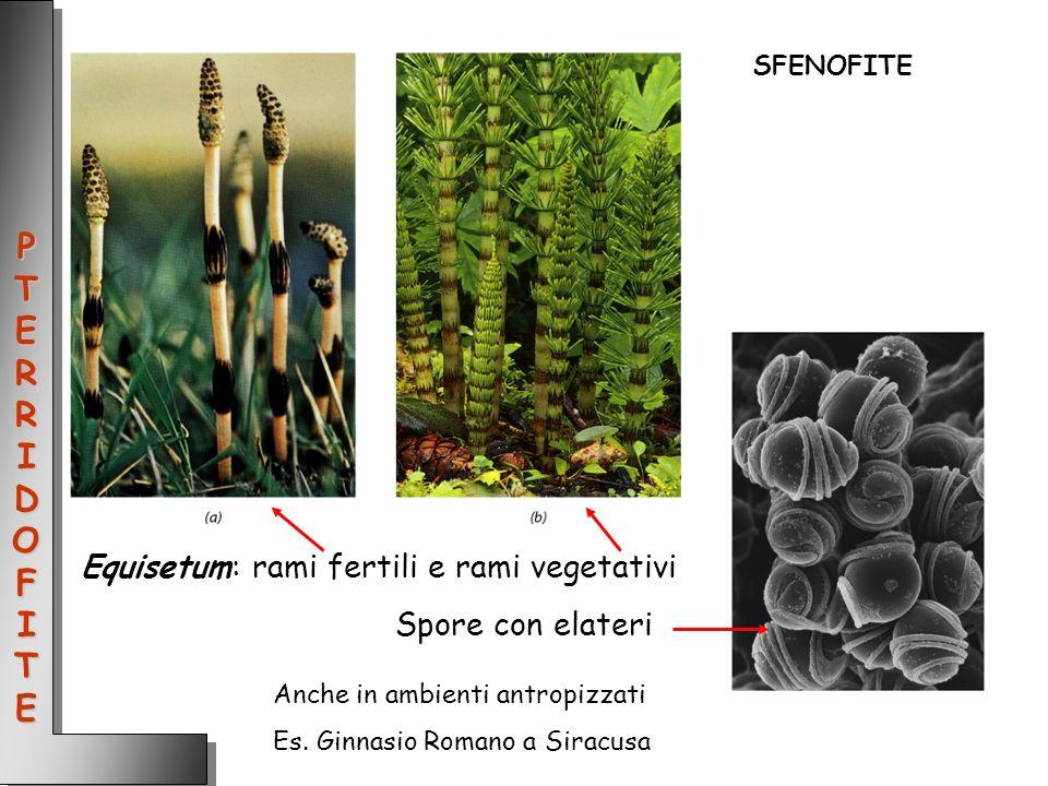 PTERRIDOFITE Equisetum: rami fertili e rami vegetativi