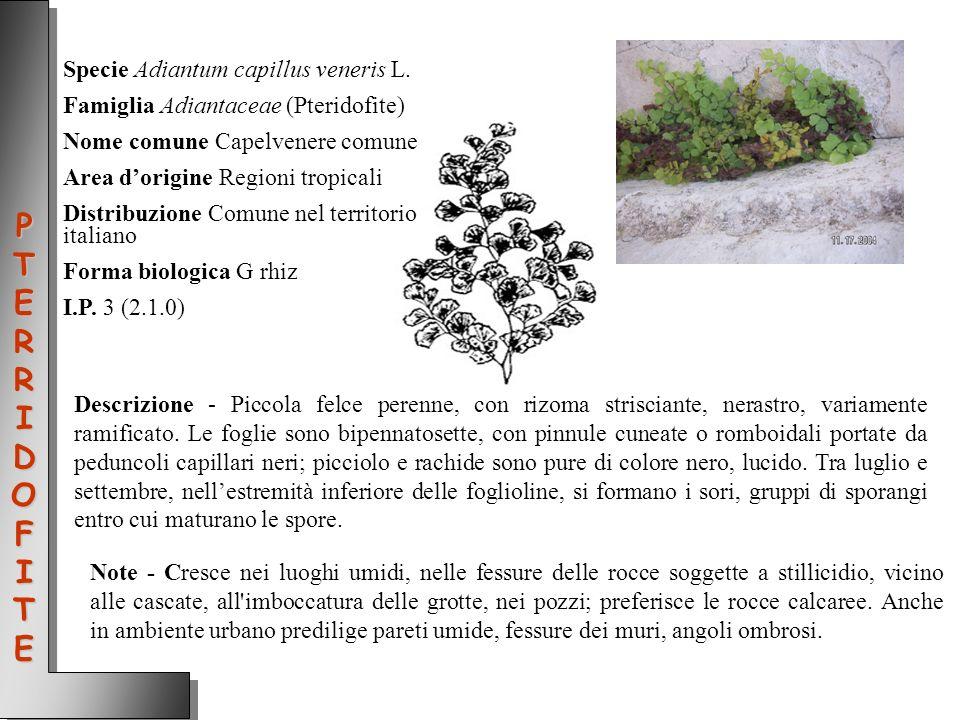 PTERRIDOFITE Specie Adiantum capillus veneris L.