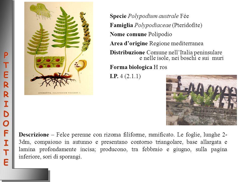 PTERRIDOFITE Specie Polypodium australe Fée
