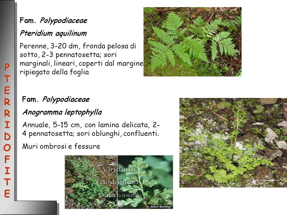 PTERRIDOFITE Fam. Polypodiaceae Pteridium aquilinum