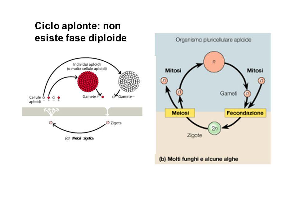 Ciclo aplonte: non esiste fase diploide