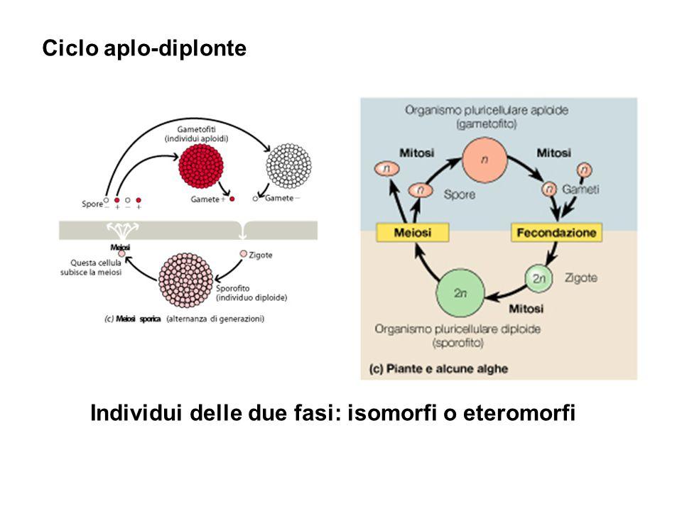 Ciclo aplo-diplonte Individui delle due fasi: isomorfi o eteromorfi
