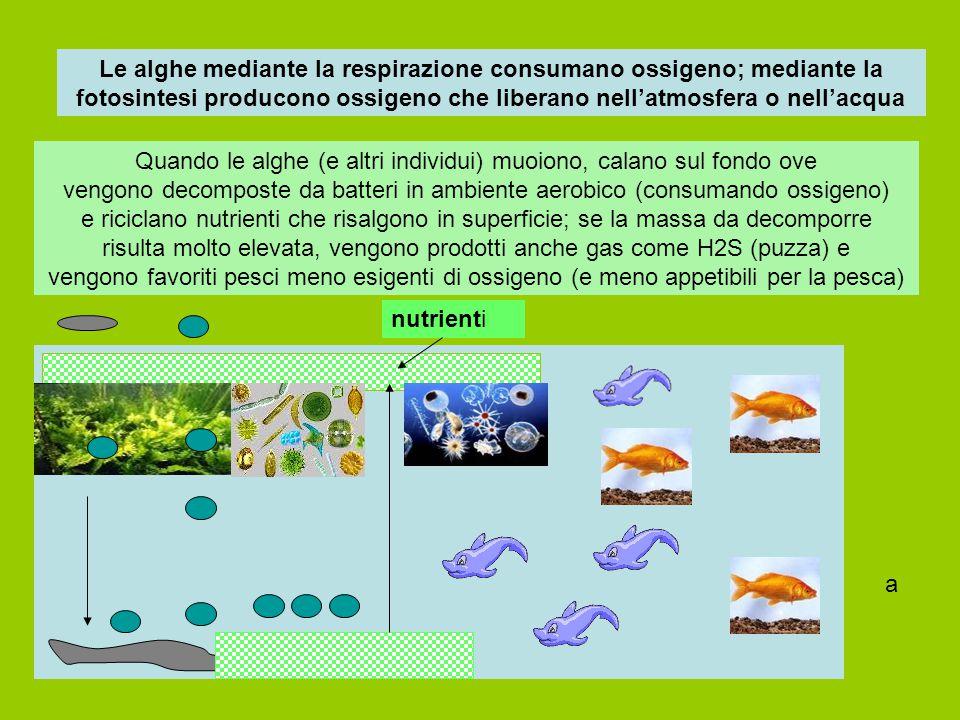 Le alghe mediante la respirazione consumano ossigeno; mediante la fotosintesi producono ossigeno che liberano nell'atmosfera o nell'acqua