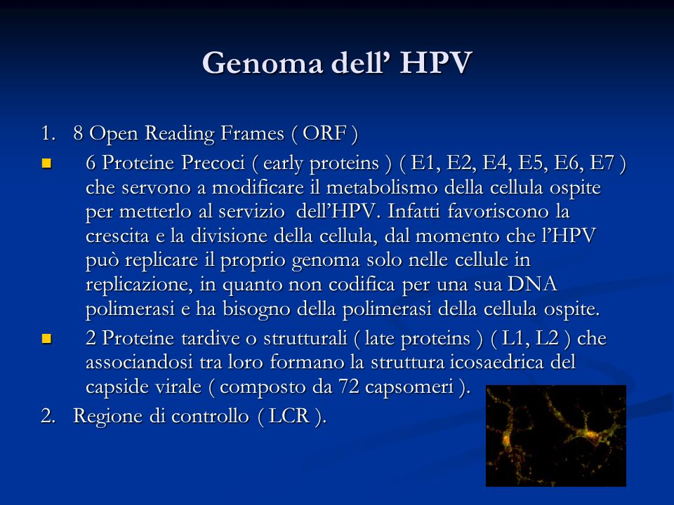 Genoma dell' HPV 1. 8 Open Reading Frames ( ORF )
