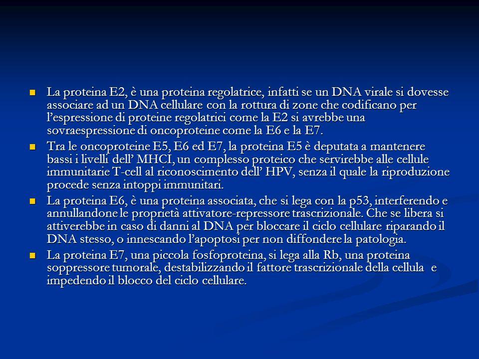 La proteina E2, è una proteina regolatrice, infatti se un DNA virale si dovesse associare ad un DNA cellulare con la rottura di zone che codificano per l'espressione di proteine regolatrici come la E2 si avrebbe una sovraespressione di oncoproteine come la E6 e la E7.