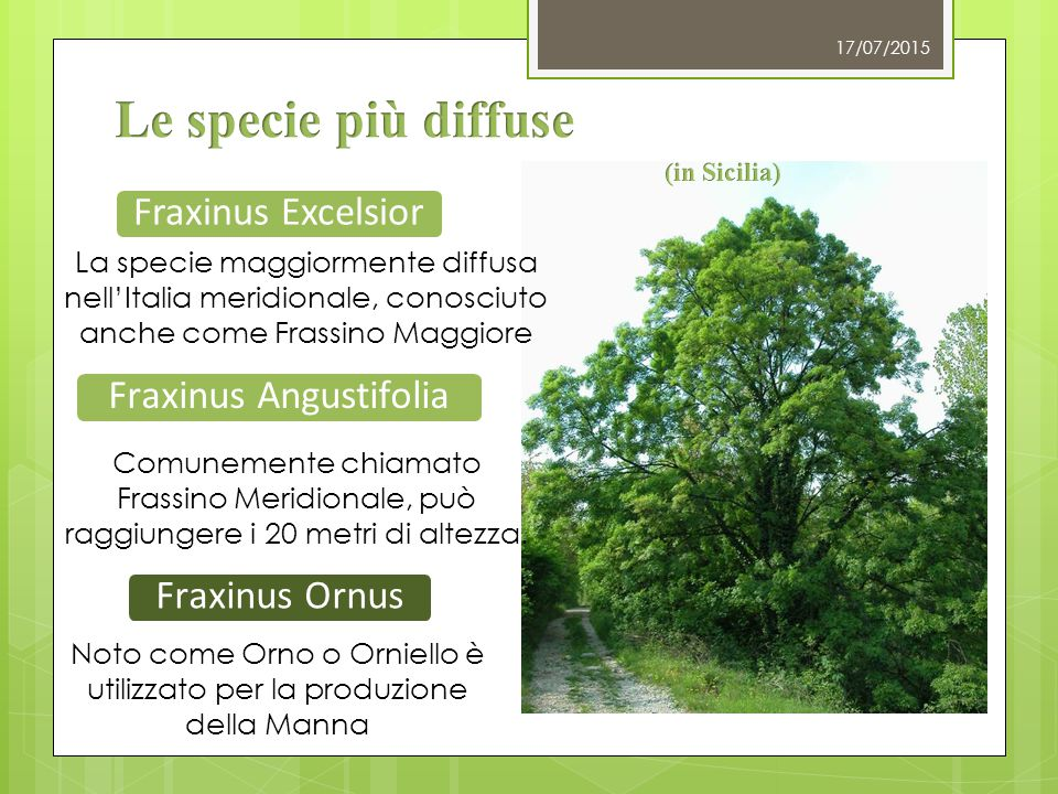 Le specie più diffuse Fraxinus Excelsior Fraxinus Angustifolia